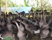 黑棕鹅活鹅
